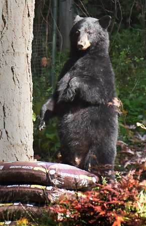BRYAN EATON/Staff photo. The mother black bear looks around after she and her cub scaled down a maple tree before going up another.