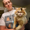 BRYAN EATON/Staff photo. Merrimack Valley Feline Rescue Society staff member Jen Frey holds Cracker Jack, one of a dozen Persian cats taking from a residence for neglect.