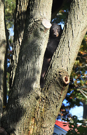 BRYAN EATON/Staff photo. The mother bear peers out from the maple tree as spectators on Elm Street in Amesbury.