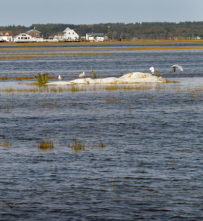 BRYAN EATON/Staff Photo. A great egret and a couple of seagulls take refuge on a rock during the extreme high tide on Monday afternoon. Homes at Cross Beach can be seen in the photo taken near Brown's Lobster Pound on Route 286.