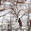 BRYAN EATON/Staff Photo. The work load at farms slow down in the winter, but don't necessarily come to a stop. Workers at Cider Hill Farm in Amesbury, and the apple trees they're pruning with hydraulic shears, contrast with the snowfall below on Tuesday.