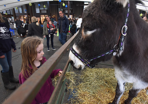BRYAN EATON/Staff photo. Wren Wentworth, 5, of Newburyport meets the donkey Mabel from NEER (New England Equine Rescue) North based in West Newbury which is dedicated to saving horses, donkeys, and ponies whose lives are at risk in our local area. They were at the 3rd Annual We=NBPT Winter Festival at the Tannery Marketplace on Saturday.