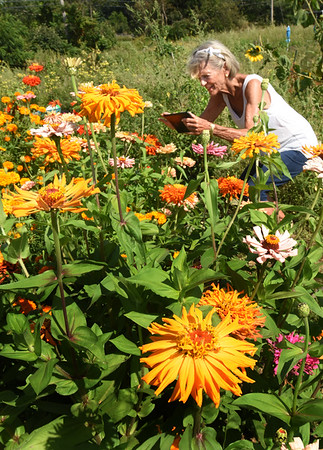 BRYAN EATON/Staff photo. Ada Twomey, who recently moved back to Amesbury from Newbury, uses a tablet to photograph her flowers at Amesbury Community Garden at Battis Farm on Wednesday afternoon. This is the first year the retired Salisbury Elementary School teacher planted at the garden, where she grows eggplant, tomatoes and onions but prefers her flowers which she started from seed.