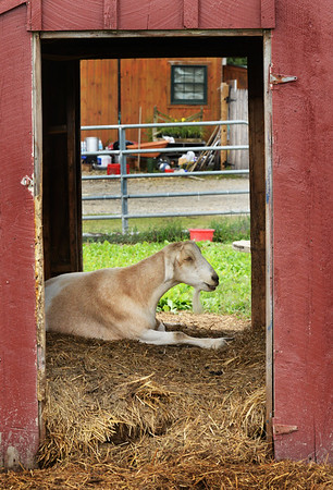 BRYAN EATON/Staff Photo. A goat spends some quiet time in its shed at Colby Farm in Newbury not seeming to care about the crowds of people checking out the sunflowers nearby.