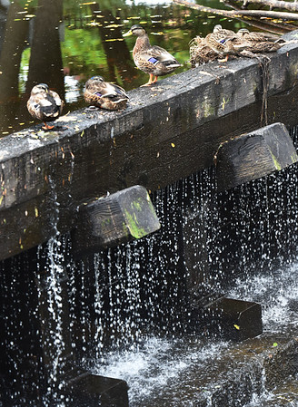 BRYAN EATON/Staff Photo. With the lack of rain as of late, the flow of the Powow River in Amesbury is diminished allowing these ducks to rest on the crest of the dam in Amesbury's Upper Millyard.