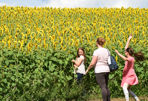 BRYAN EATON/Staff photo. The sunflower display on the field adjacent to Colby Farm on Scotland Road in Newbury has attracted people once again for the colorful display, which started with 150,000 seeds planted. Shel Tscherne of Marlborough and her daughters, Emma, 9, left, and Grace, 11, visited on Thursday afternoon.