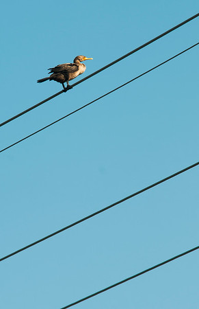 JIM VAIKNORAS/Staff photo  A cormorant perches on power lines along the Plum Island Turnpike in Newbury Monday afternoon.