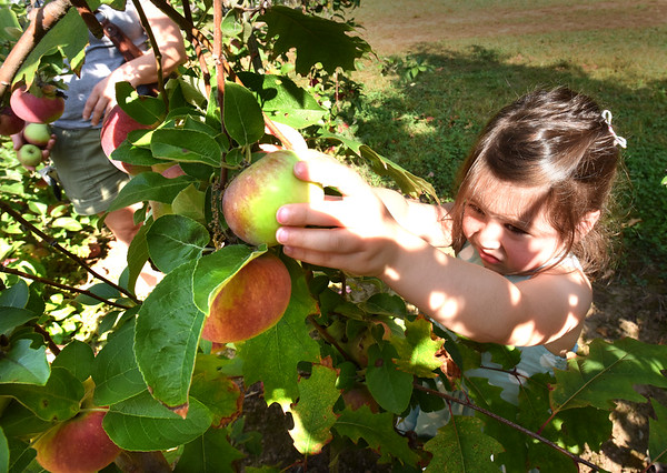 BRYAN EATON/Staff photo. Eleanor Fusco, 3, of Hampton Falls reaches high for an apple at Cider Hill Farm in Amesbury with her mom, Carolyn, formerly of Newburyport. The apples at various farms in the area are at their height of picking right now.