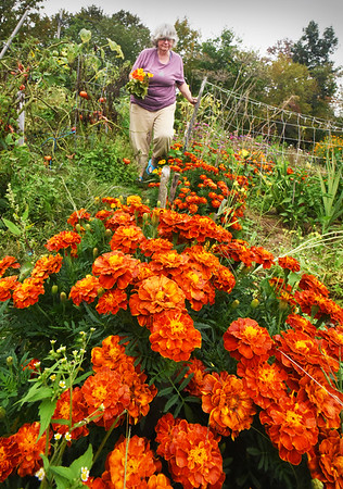 BRYAN EATON/Staff photo. Margery Jennings picks nasturtium and marigolds in her plot at the Amesbury Community Gardent at Battis Farm on Monday afternoon. In addition to the plethora of flowers, the Amesbury resident, who has had a plot there for 15 years also grows a range of vegetables from parsnips to lettuce and carrots.