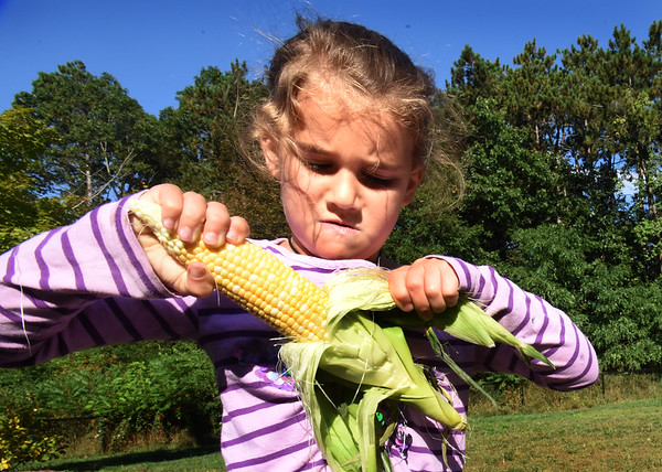 BRYAN EATON/Staff photo. With a look of determination, Campbell Seymour, 5, gets close to pulling the husk off this ear of corn. The youngsters were instructed to get as much of the silk off as they could.