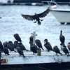 JIM VAIKNORAS/Staff photo A cormorant tries to land among a large group or gulp of cormorants on a dock near the Salisbury town pier in the rain Friday afternoon.