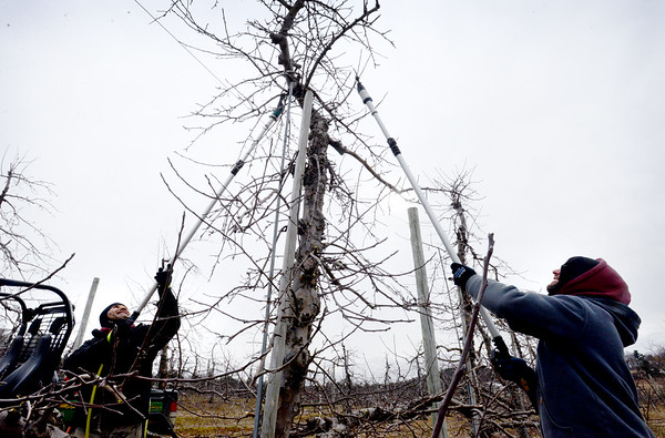 BRYAN EATON/Staff photo.Work on farms slow down in the winter but don't stop completely. Grigore Chitas, left, and his brother, Marin, use hydraulic shears to prune apple trees at Cider Hill Farm in Amesbury on Tuesday hoping to do as much as they can before snow covers the ground and slows down the project.