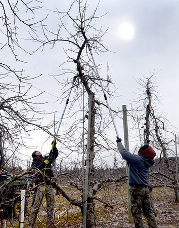 BRYAN EATON/Staff photo. Work on farms slow down in the winter but don't stop completely. Grigore Chitas, left, and his brother, Marin, use hydraulic shears to prune apple trees at Cider Hill Farm in Amesbury on Tuesday hoping to do as much as they can before snow covers the ground and slows down the project.