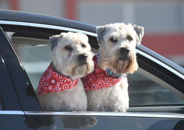 JIM VAIKNORAS/Staff photo Brier and Finnegan, who belong to Laura Gordon of Amesbury, wear matching bandanas as they look out from their car on Parker Street in Newburyport Friday.