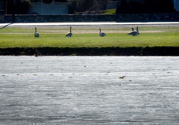 BRYAN EATON/Staff Photo. Canada geese spend time on the grass on Newbury's Upper Green as the Frog Pond is frozen over. Melting of the pond is likely Monday as rain is in the forecast.