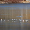 BRYAN EATON/Staff photo. Seagulls rest on an area of Lake Gardner in Amesbury where some ice has formed. More ice should form today as the temperature is only forecast to be 24 degrees.
