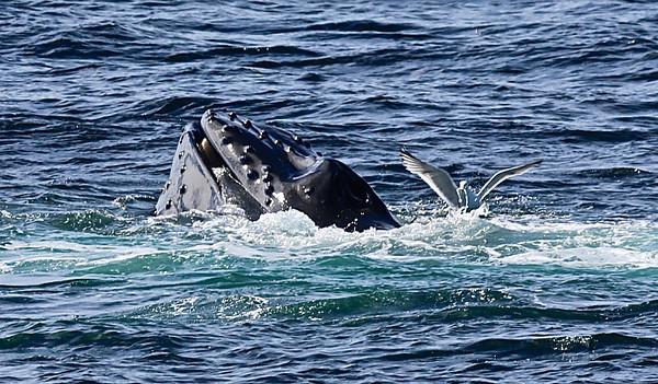 Newburyport, MA Whale Watching  June 21,2014