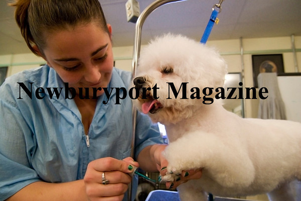 Newburyport: Jessica Farretta paints the nails on Pinky, a bichon frise, at the Canine Cosmology School in Newburyport. Photo by Ben Laing/Staff Photo