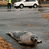Salisbury: Salisbury police officer Michael Alder keeps his eye on a seal off North End Boulevard yesterday as the mammal slowly moves back to the marsh during high tide. The seal was in the middle of the road for a good half hour refusing to budge as Alder and Sgt. Kevin Sullivan blocked part of the road to traffic for the animal's safety. Bryan Eaton/Staff Photo<br /> X, Salisbury: Salisbury police officer Michael Alder keeps his eye on a seal off North End Boulevard yesterday as the mammal slowly moves back to the marsh during high tide. The seal was in the middle of the road for a good half hour refusing to budge as Alder and Sgt. Kevin Sullivan blocked part of the road to traffic for the animal's safety. Bryan Eaton/Staff Photo<br /> X
