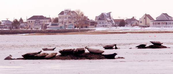 Salisbury: A bob of seals rests along a stretch of rocks exposed at low tide in mouth of the Merrimack River off Salisbury Reservation . jim vaiknoras/Staff photo<br /> , Salisbury: A bob of seals rests along a stretch of rocks exposed at low tide in mouth of the Merrimack River off Salisbury Reservation . jim vaiknoras/Staff photo