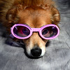Cooper relaxes in a pair of pink Doggles.