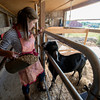 Erin Bligh of Dancing Goat Dairy feed her goat Noah at the Tendercrop Farm in Newbury.