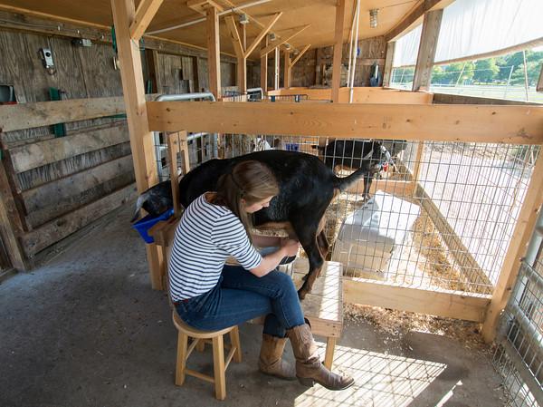 Erin Bligh of Dancing Goat Dairy milks her goat ..... at the Tendercrop Farm in Newbury.