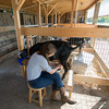 Erin Bligh of Dancing Goat Dairy milks her goat ..... at the Tendercrop Farm in Newbury.