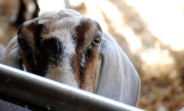 Erin Bligh of Dancing Goat Dairy goat ...  at the Tendercrop Farm in Newbury.