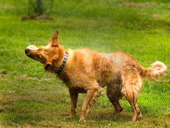 Sadie , a golden retriever belonging to Abby Lane of Groveland , dries herself off after taking a swim in Mill Pond in West Newbury. Sadie enjoys wading in the shallow water trying to catch fish in her mouth.