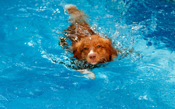 Anhabelle , a Duck Tolling Retrieve, swims in a pool in Newburyport