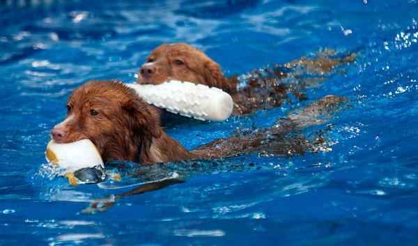 Anhabelle and Boston , Duck Tolling Retrieves, swim in a pool in Newburyport