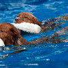 Anhabelle and Boston , Duck Tolling Retrieves, swim in a pool in Newburyport