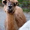 Parker river alpacas