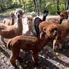 Pat Badger' alpacas at his home in West Newbury.