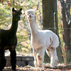 Pat Badger' alpacas  Lorenzo and Supercal at his home in West Newbury at his home in West Newbury.