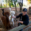 Pat Badger his alpacas in front Salvador and Tour de Force and behind him Lorenzo  and Supercal at his home in West Newbury