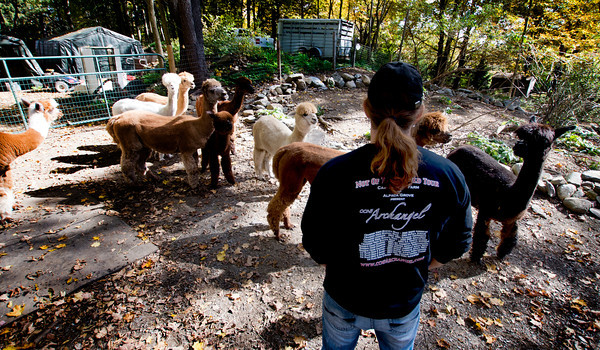 Pat Badger with his alpacas at his home in West Newbury. His shirt list alpaca compitition and is designed to look like a concert tour tee shirt.
