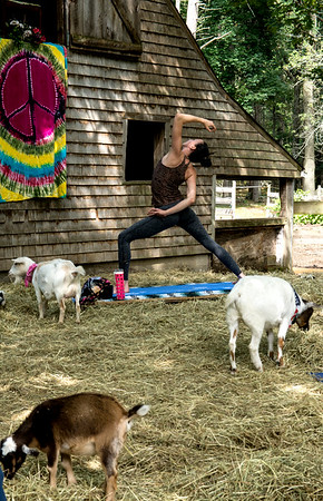 JIM VAIKNORAS/Staff photo Briana Grieco holds a yoga pose at Moon Shadow Goat Yoga in Boxford.