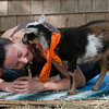 JIM VAIKNORAS/Staff photo One of the goats says hi to instructor Briana Grieco during a class at Moon Shadow Goat Yoga in Boxford.