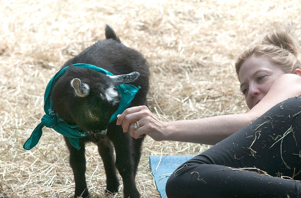 JIM VAIKNORAS/Staff photo Anmarie Cote of Boxford pets one of the goats at Moon Shadow Goat Yoga in Boxford.