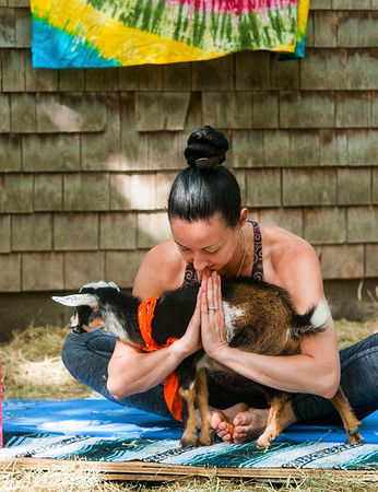 JIM VAIKNORAS/Staff photo Briana Grieco holds a yoga pose and a goat at Moon Shadow Goat Yoga in Boxford.