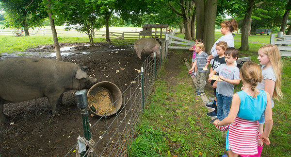 JIM VAIKNORAS/Staff photo Campers toss bread to the pigs at the Spencer-Peirce-Little Farm Little Farmer Camp. They throw the pieces around to give the animal some exercises.