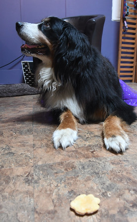 JIM VAIKNORAS/Staff photo Holly, a Bernese Mountain Dog, waits patiently to eat a treat at Quinn's Canine Cafe in Newburyport.
