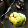 JIM VAIKNORAS/Staff photo A crab apple at the French-Pettengill Preserve in Salisbury.