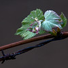 JIM VAIKNORAS/Staff photo A grape vines grows along a stretch of barbed wire.