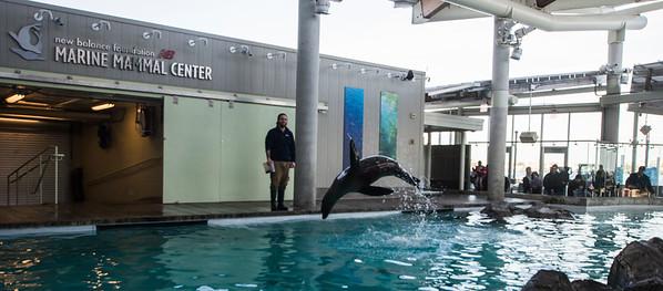 JIM VAIKNORAS/Staff photo Zoe, a California sea lion, demonstrates porposing  at the Marine Mammal Center at the New England Aquarium.