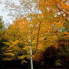 JIM VAIKNORAS/Staff photo A birch tree in Maudslay State Park glows in autumn colors.