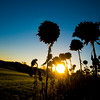 JIM VAIKNORAS/Staff photo The sunset under a navy blue sky behind dead sunflowers at Hiller Field long Scotland Road in Newbury.
