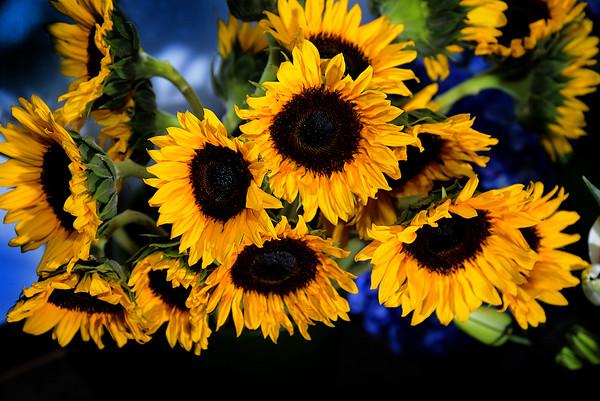 JIM VAIKNORAS/Staff photo Sunflowers at Saracy in Newburyport